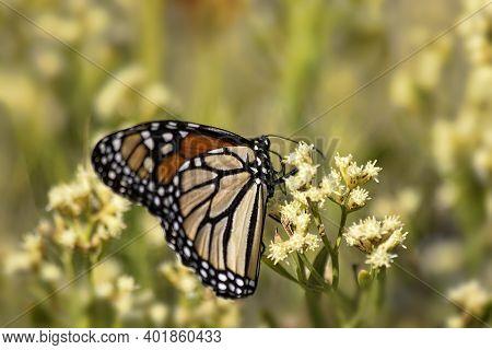 Monarch Butterfly On A Wildflower In Destin, Florida