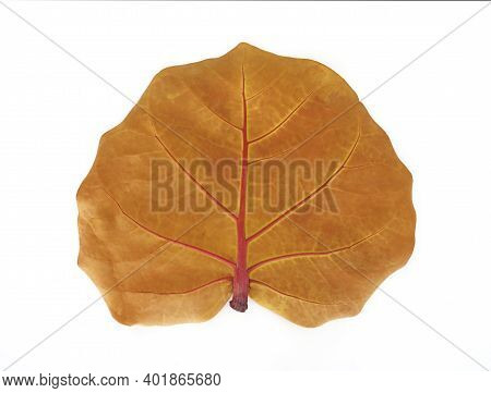 Front View Of Ocher Colored Leaf Of The Uvero De Playa Tree, Typical Tree Of The Caribbean And Tropi
