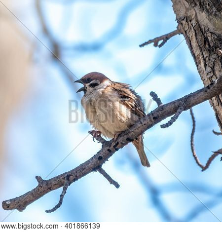 Sparrow Sits On A Branch With Open Beak In Spring On Blue Sky Background. Sparrow On A Branch In The