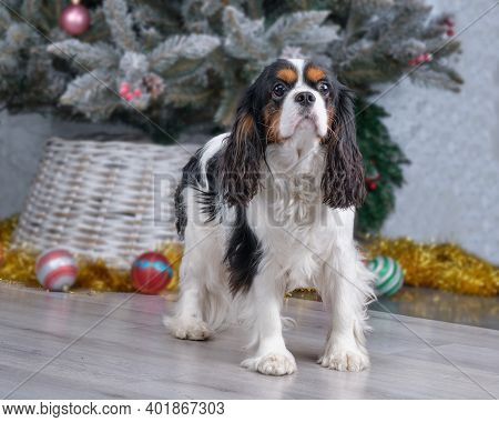 Cavalier King Charles Spaniel Closeup After Grooming.