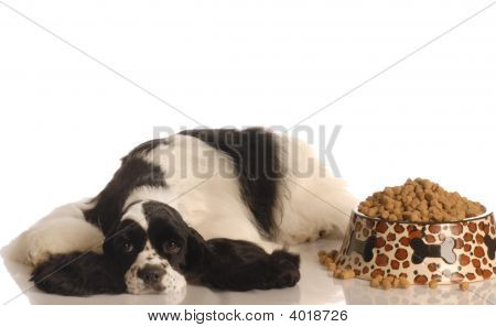 american cocker spaniel refusing to eat isolated on white background poster