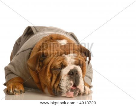 Bulldog Making Funny Face