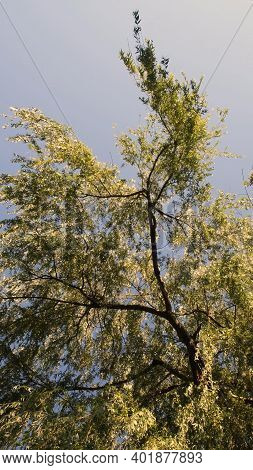 Low Angle View Under Willow Tree With Golden Leaf Branches In Wind. Autumn Foliage Of Sallow Against