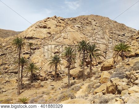 Arid And Desert Landscape With Tall Palm Trees. Set Of Palm Trees Growing In Isolated Oasis In The A
