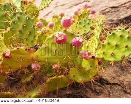 Prickly Pear Cactus With The Fruit In Its Natural State. Prickly Pear Close Up. Opuntia Prickly Pear