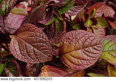 Decorative Leaves In Fall Colors. Swedish Ivy, Swedish Begonia Or Whorled Plectranthus Is A Plant In
