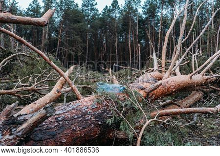 Environmental Issues, Problems. Plastic Bottle In Trunk Of Pine Fallen Tree. Windfall In Pine Forest