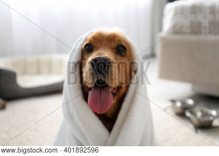 Cute English Cocker Spaniel Wrapped In Towel Indoors. Pet Friendly Hotel