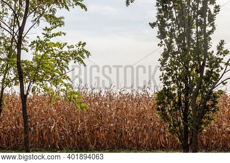 Cornfileds, Dried Surrounded By Trees, In Fall, Taken On The Plains Of Voivodina, The Most Rural And