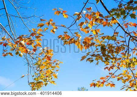 Autumn Maple Leaf Background. Orange And Yellow Autumn Leaves Set Against A Sunny Clear Blue Sky In