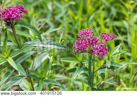 Swamp Milkweed With Small Butterfly Feeding On It. The Plant Is A Hardy Perennial That Gardeners Oft