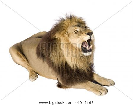 Lion Lying In Front Of A White Background