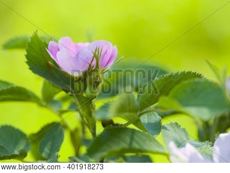 Delicate Rosehip Flower On A Bush. Delicate Pink Rosehip Flower With Buds And Green Leaves, On A Lig