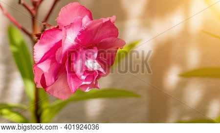 Oleander A Species Of Dogbane, Rose Bay, Its Botanical Name Is Nerium Oleander. The Garden With Bloo