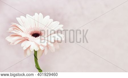 Gentle White Gerbera Flower With Copy Space For Your Text. Greeting Card For Spring Time, Concept Of