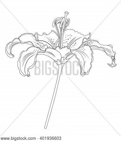 Lily Flowers. Blooming Lily. Card Or Floral Background With Blooming Lilies Flowers. Vector Illustra
