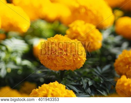 African Marigold, American Or Aztec Marigolds Flower Beautiful Yellow Color Flowers Growing Blooming