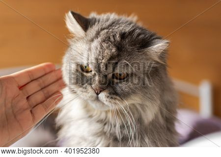 A Disgruntled Cat Who Has Misbehaved, And His Mistress Scolds Him. An Angry Expression On The Cat's