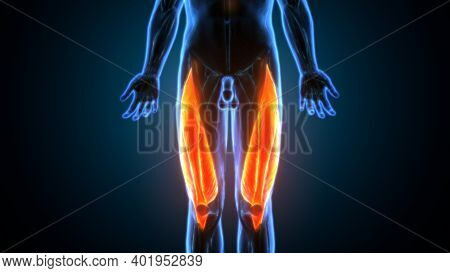 Hamstring Muscle Group, Human Anatomy Muscle System Anatomy.