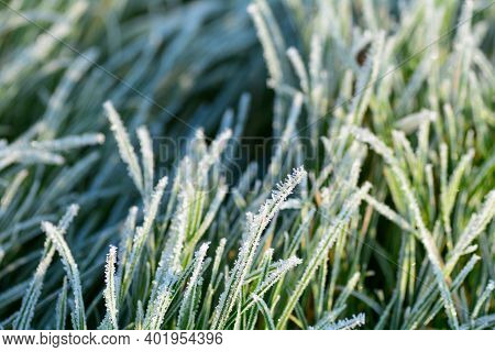 Green Grass With Hoar Frost On A Cold Winter Day