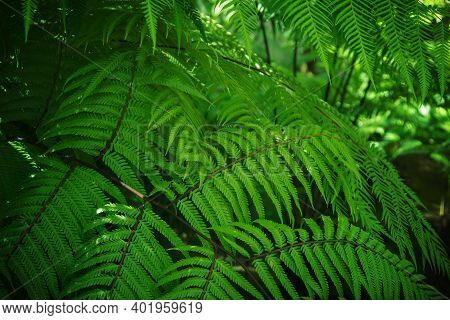 Abstract Green Fern Leaf Texture, Nature Tropical Leaf Background, Perfect Natural Young Fern Leaves
