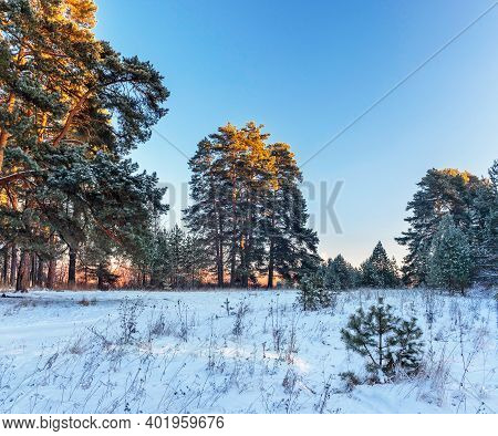 Pine Trees On A On A Frosty Winter Morning At Dawn