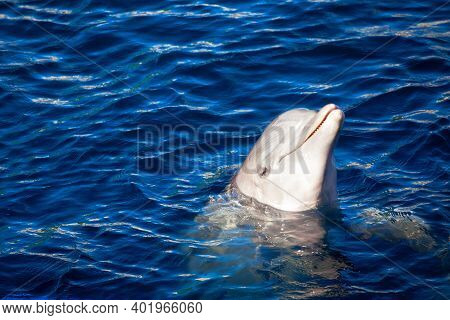 Smiling Dolphin . Portrait Of Dolphin In The Water