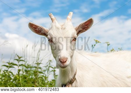 Cute Goat In The Grass. Agricultural Background. Livestock Farm. White Goat Close Up. Animal's Head