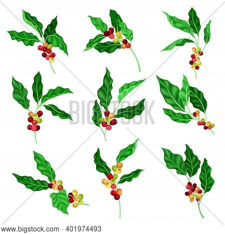 Coffee Plant Branch With Juiced Edible Fruits Containing Caffeine Vector Set