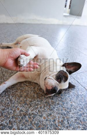 Absent Minded French Bulldog Or French Bulldog, Tame Dog