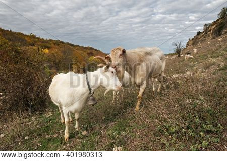 White Goats Close Up. Male Goat And Female Goat. Landscape With Sky And Goats Grazing In The Mountai
