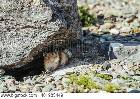 Beautiful Little Pika Rodent Hiding From Heat Under Stone In Shade. Small Pika Rodent Hide From Sun