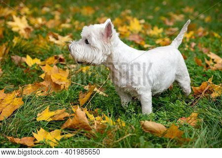 West Highland White Terrier On Autumn Meadow. Dog For A Walk. Autumn.