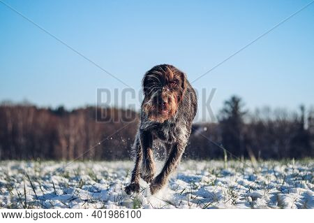Beautiful Display Of Speed And Power By A Hunting Bitch, Bohemian Wire-haired Pointing Griffon. Port