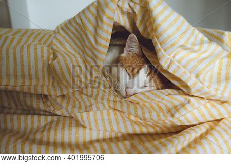 Cute Young Domestic Bicolor Orange And White Also Called Ginger Or Marmalade Tabby Cat Sleeping In S