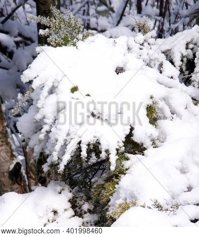 Unique Snow Formation On Pine Tree With Eyes, Nose And Face Of A Lion