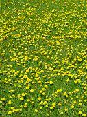 spring dandelion meadow poster