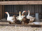 Group of goose and ducks in the yard poster