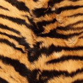 beautiful detail of black stripes on a tiger pelt ( real ) poster