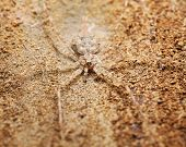 a twin tailed spider camouflaged on the bark of a tree poster