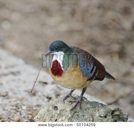 Mindanao Bleeding-Heart Dove Building A Nest