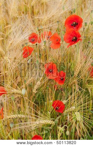 red poppies against the background of the corn-field