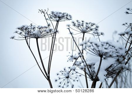 Frozen umbrella flowers covered with snow above blue background poster