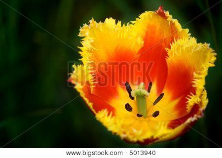 Interesting Tulip