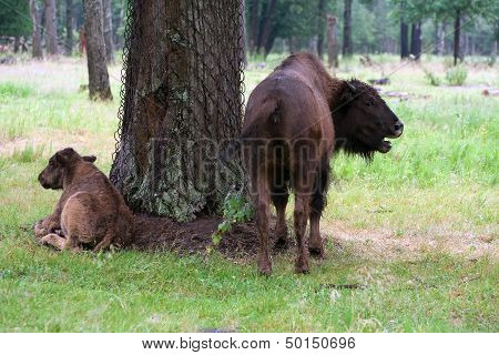 Aurochs in the summer forest