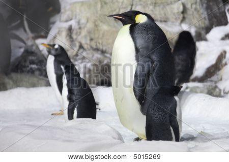 Emperor Penguin Looking On