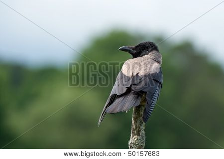 Hooded/grey Crow (Corvus Cornix)