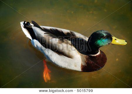 Handsome Mallard Drake swimming in murky water poster