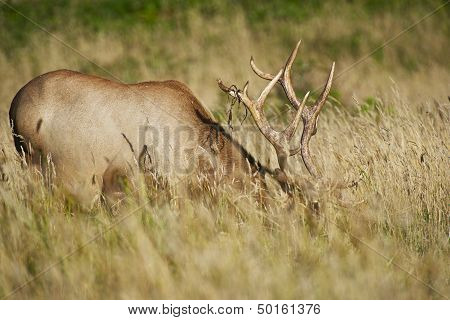 California Elk In Grass