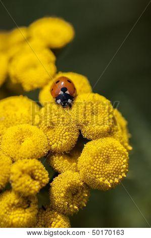 Ladybug - Common Tansy